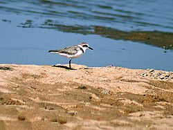 Kentish plover I2 IMG 9384.jpg