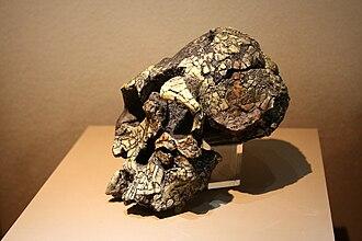 Kenyanthropus - Image: Kenyanthropus platyops, skull (model)
