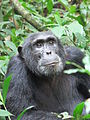 Kibale chimp.jpg