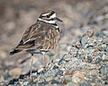 Killdeer (33647275772).jpg