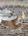 King rail From The Crossley ID Guide Eastern Birds.jpg