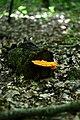 Kivertsi Volynska-Zozulyni cherevychky protected tract-Laetiporus sulphureus.jpg