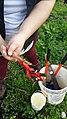 Kiwifruit vine grafting 3.jpg