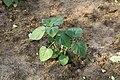 Kluse - Physalis peruviana - Kapstachelbeere 08 ies.jpg