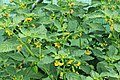 Kluse - Physalis philadelphica - Tomatillo 03 ies.jpg