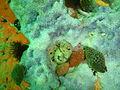 Knobbly sea anemone on sponge at Lorry Bay PB012036.JPG