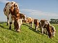 Koeien grazen op de oude lauwerzeedijk.jpg