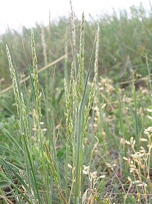 Koeleria macrantha - Koeleria macrantha