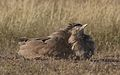 Kori bustard, Ardeotis kori, at Kgalagadi Transfrontier Park, Northern Cape, South Africa (33692671364).jpg