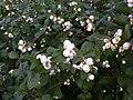 Korina 2011-10-09 Symphoricarpos albus 1.jpg