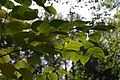 Korina 2013-10-19 Fallopia japonica 10.jpg