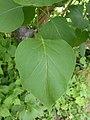 Korina 2014-06-08 Syringa vulgaris.jpg