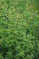 Korina 2014-08-21 Ambrosia artemisiifolia.jpg