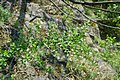 Korina 2017-04-09 Cotoneaster divaricatus 2.jpg