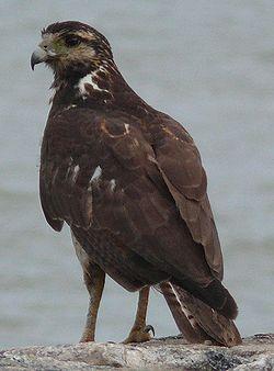Kourou bird rapace fleuve.jpg