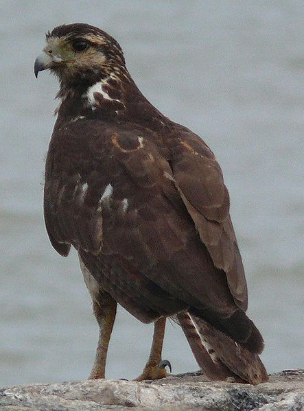 Ficheiro:Kourou bird rapace fleuve.jpg