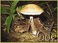 Kozak mushroom.jpg