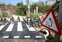 LC Penguin crossing.jpg