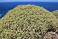 La Palma - Garafía - Vía Puerto de Garafía + Euphorbia balsamifera 07 ies.jpg