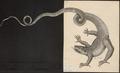 Lacerta longicauda - 1700-1880 - Print - Iconographia Zoologica - Special Collections University of Amsterdam - UBA01 IZ12500039.tif