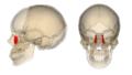 Lacrimal bone.png