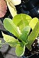 Lactuca sativa Kalura 1zz.jpg