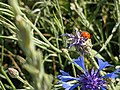 Ladybug on cornflower Sibillini Mountains 01.jpg