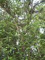 Lafoensia speciosa (Kunth) DC.jpg