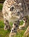 Laila Snow Leopard (215588799).jpeg