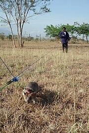 LandmineRat