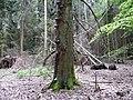 Landschaftsschutzgebiet Horstmanns Holz Melle -Umgestürzter Baum- Datei 2.jpg