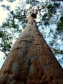 Lane Cove National Park Sydney red gum tree.jpg