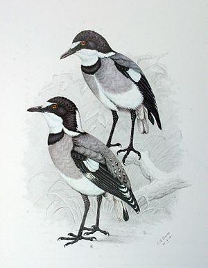 White-tailed shrike - Image: Lanioturdus torquatus 00