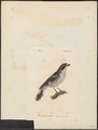 Lanius senator - 1842-1848 - Print - Iconographia Zoologica - Special Collections University of Amsterdam - UBA01 IZ16600427.tif