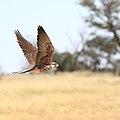 Lanner falcon, Kgalagadi (35735686844).jpg