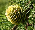 Larch Cone - geograph.org.uk - 478219.jpg