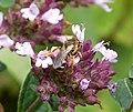 Lasioglossum sp. (36134002833).jpg