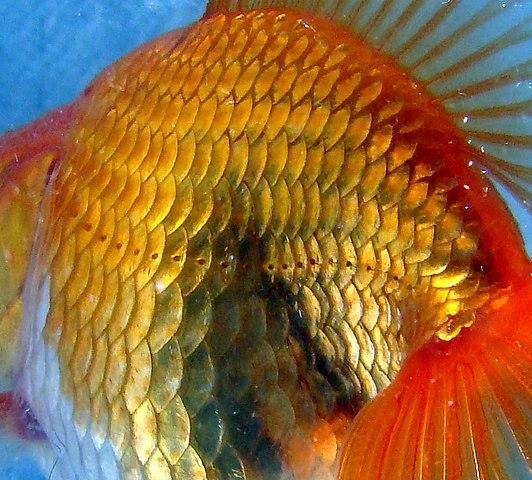 Fiskar (i det här fallet en guldfisk) kan uppfatta tryckförändringar i vattnet med hjälp av sitt sidolinjeorgan.