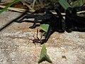Leaf-Cutter Ant (3911878157).jpg