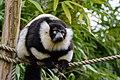 Lemur (25990449027).jpg