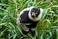 Lemur (36499877033).jpg