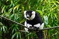 Lemur (36790201934).jpg