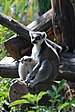 Lemur catta (DFdB).JPG
