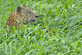 Leopard at Gir 2