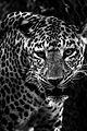 Leopard in Mysore Zoo 2 (cropped).jpg