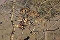 Leopardo (Panthera pardus) devorando un antílope, parque nacional Kruger, Sudáfrica, 2018-07-26, DD 09.jpg