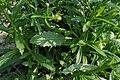 Lepidium campestre - leaves (18865870460).jpg