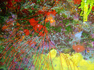 <i>Leptogorgia virgulata</i> Species of coral