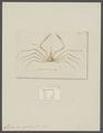 Leptopodia sagittaria - - Print - Iconographia Zoologica - Special Collections University of Amsterdam - UBAINV0274 095 18 0002.tif