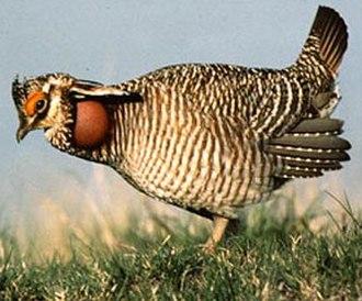 Tympanuchus - Male Lesser Prairie-Chicken (T. pallidicinctus)